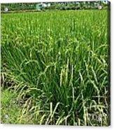 Green Rice Field In Taiwan Acrylic Print