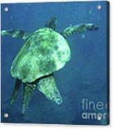 Green Sea Turtle 1 Acrylic Print