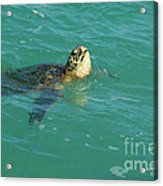 Green Sea Turtle 4 Acrylic Print