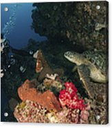 Green Sea Turtle And Underwater Acrylic Print