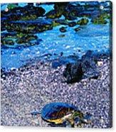 Green Sea Turtle Honu Acrylic Print