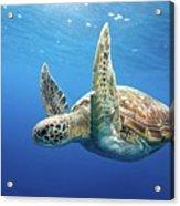 Green Sea Turtle Acrylic Print by James R.D. Scott