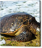 Green Sea Turtle Of Hawaii Acrylic Print