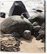 Green Sea Turtle With Gps Acrylic Print