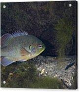 Green Sunfish Swimming Along The Rocky Acrylic Print