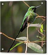 Green Tailed Trainbearer Hummingbird Stylized Acrylic Print