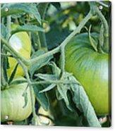 Green Tomato On The Vine Acrylic Print