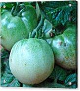 Green Tomatoes On The Vine Acrylic Print