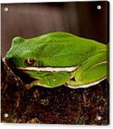 Green Tree Frog Acrylic Print