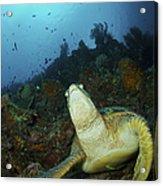 Green Turtle On Reef, Manado, North Acrylic Print