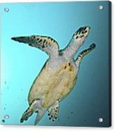 Green Turtle Swimming, Sabah, Malaysia Acrylic Print