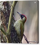 Green Woodpecker Acrylic Print