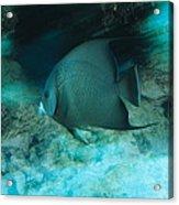 Grey Angelfish Acrylic Print
