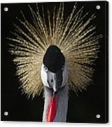 Grey Crowned Crane Balearica Regulorum Acrylic Print