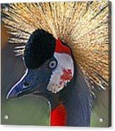 Grey-crowned Crane Acrylic Print