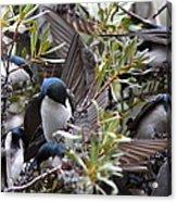 Grey Feathers - Tree Swallow Acrylic Print