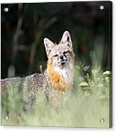 Grey Fox - The Man Acrylic Print