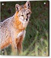 Grey Fox - Vantage Point Acrylic Print