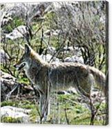 grey Fox 2 Acrylic Print