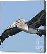 Grey Pelican Acrylic Print
