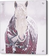 Grey Pony In Red Rug Acrylic Print by Sasha Bell
