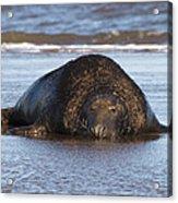 Grey Seal Bull Acrylic Print