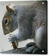 Grey Squirrel Dining Out Acrylic Print