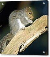 Grey Squirrel Feeding Acrylic Print by Duncan Shaw