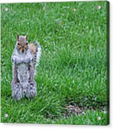 Grey Squirrel In The Rain II Acrylic Print