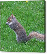Grey Squirrel In The Rain Acrylic Print