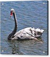 Grey Swan Acrylic Print