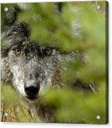 Grey Wolf, Outside Golden, British Acrylic Print