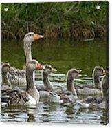 Greylag Goose Anser Anser Couple Acrylic Print