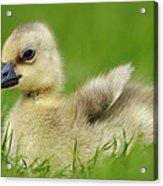 Greylag Goose Gosling Acrylic Print