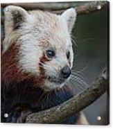 Grimacing Red Panda Acrylic Print
