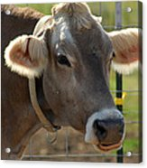 Grinning Cow Acrylic Print