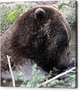 Grizzley - 0006 Acrylic Print