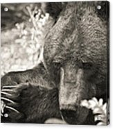 Grizzly At Rest Acrylic Print