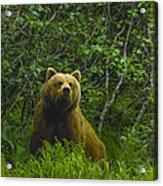 Grizzly Bear Alaska Acrylic Print