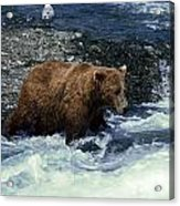 Grizzly Bear Fishing Acrylic Print
