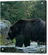 Grizzly Bear Or Brown Bear Acrylic Print