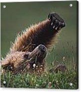 Grizzly Bear Ursus Arctos Stretching Acrylic Print