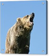 Grizzly Bear Vocalizing Acrylic Print