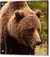 Grizzly Bear, Yukon Acrylic Print