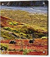 Grizzly Bears And Fall Colours, Denali Acrylic Print