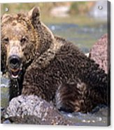 Grizzly Cavorts In Stream Acrylic Print