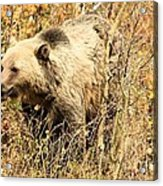Grizzly In The Brush Acrylic Print