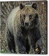 Grizzly Ramble Acrylic Print