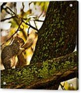 Grooming Grey Squirrel Acrylic Print
