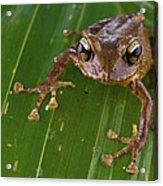 Ground Frog Nakanai Mts Papua New Guinea Acrylic Print